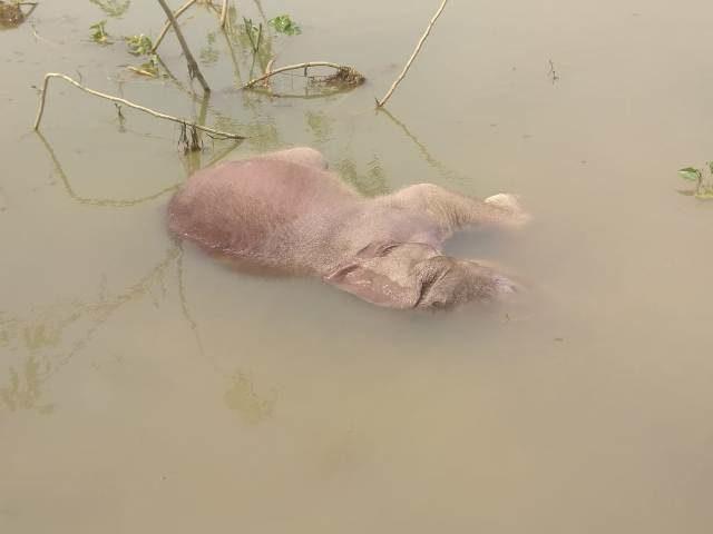 महानदी में डूबने से बच्चा हाथी की मौत, नदी पार करते समय डूबा