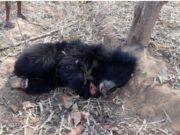 भालू की मौत