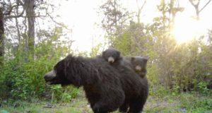 जंगल में महुआ बिनने गई महिलाओं पर भालुओं का हमला, हालत गंभीर