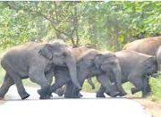 कोरबा में हाथी