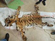बाघ की खाल