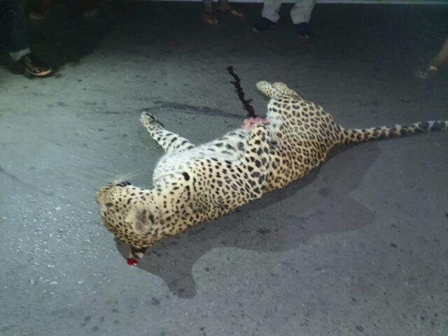तेंदुआ की मौत