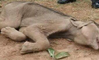 बलरामपुर में हाथी